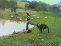 Кенгуру - шутник